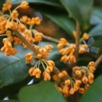 キンモクセイ花の時期と育て方