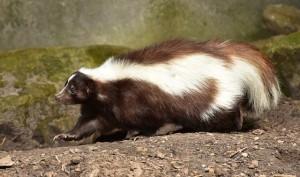 skunk-853083_640