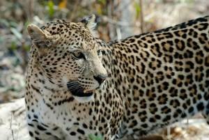 leopard-694460_640