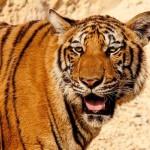 虎の子の意味、由来は?虎の子渡しとは?