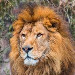 百獣の王ライオンの由来は