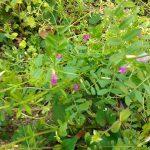 食べられる山菜:カラスノエンドウ、よもぎ、どくだみ、イチョウ