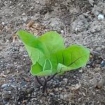 夏野菜植え付けと食べられる山菜