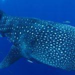 村雲清美さん、ジンベエザメの採血に成功、美ら海水族館